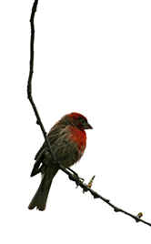 housefinch 166x268 tall