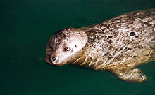 Harbour seal 220x136 hh