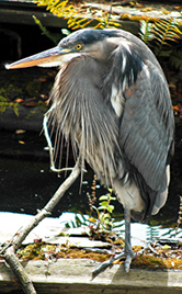 Great Blue Herons are commonly seen feeding in Portage Inlet and the Gorge Waterway