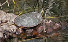 painted turtle 220x136 hh