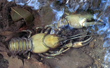 Crayfish are commonly found in the open reaches of Bowker Creek