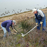 Volunteers pulling broom on Coburg Peninsula