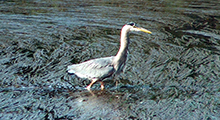 Great blue heron feeding in the extensive eelgrass beds in the Gorge Waterway