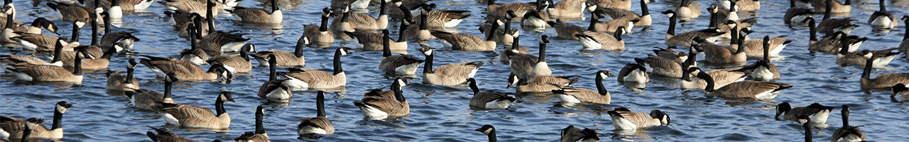 Regional Goose Management Strategy