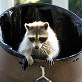 racoon in garbage can